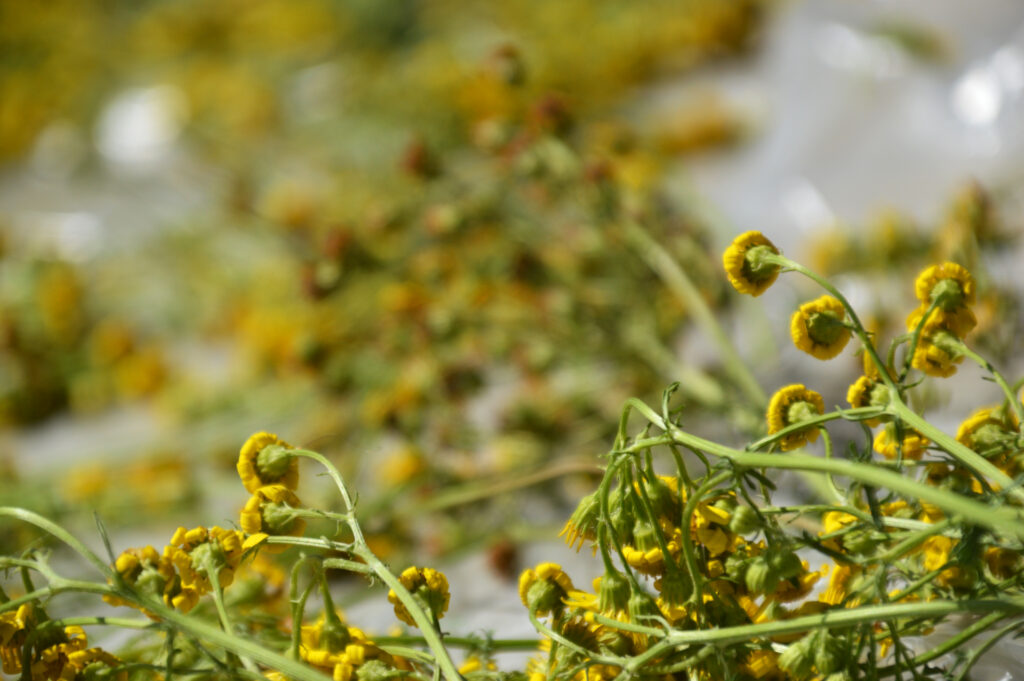 A close-up of chamomile drying on a plastic sheet